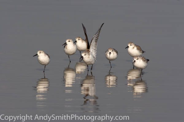 seven sanderlings  fine art photograph
