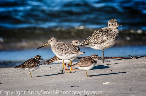 Fve Shorebirds  fine art photograph