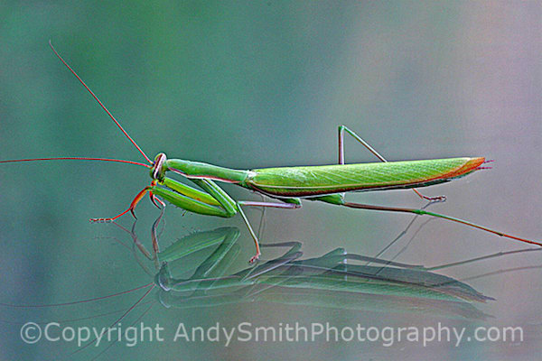 Praying Mantis fine art photograph