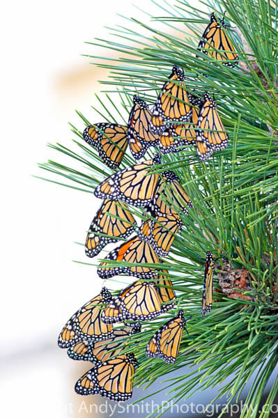 Monarchs in Migration fine art photograph