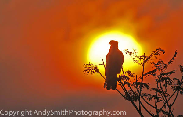 fine art photograph of Crested Caracara at Sunset