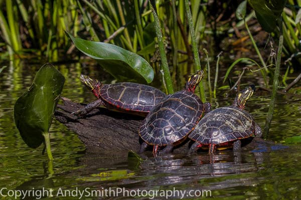 Three Eastern Painted Turtles fine art photograph
