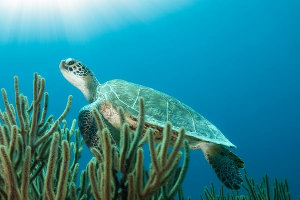 Underwater green sea turtle photograph