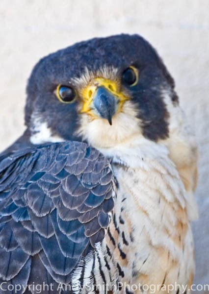 Peregrine Portrait fine art photograph