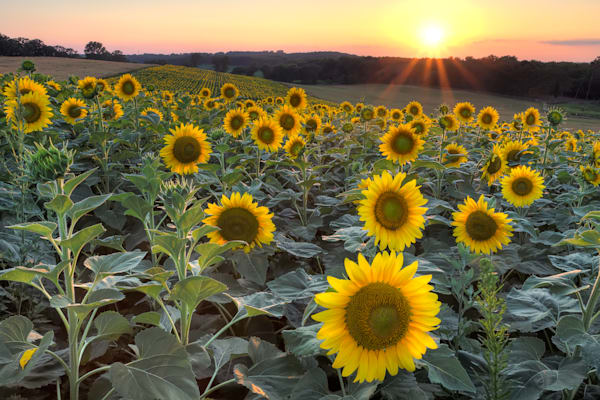 Photograph of sunflower field at dusk