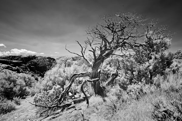 9443 Cedar Tree Black Canyon Of Gunnison Art | Cunningham Gallery