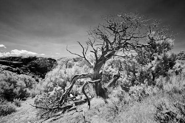 9443-Cedar Tree-Black Canyon of Gunnison