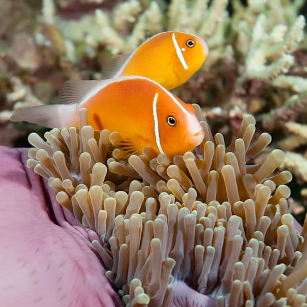 Underwater clown fish photograph
