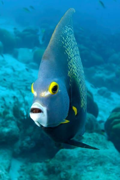 Underwater French Angelfish photograph