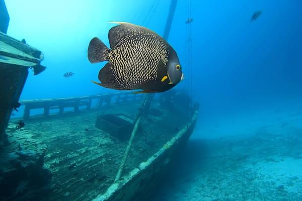 Photograph of angelfish and shipwreck