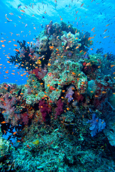 Photograph of underwater coral and fish, Fiji