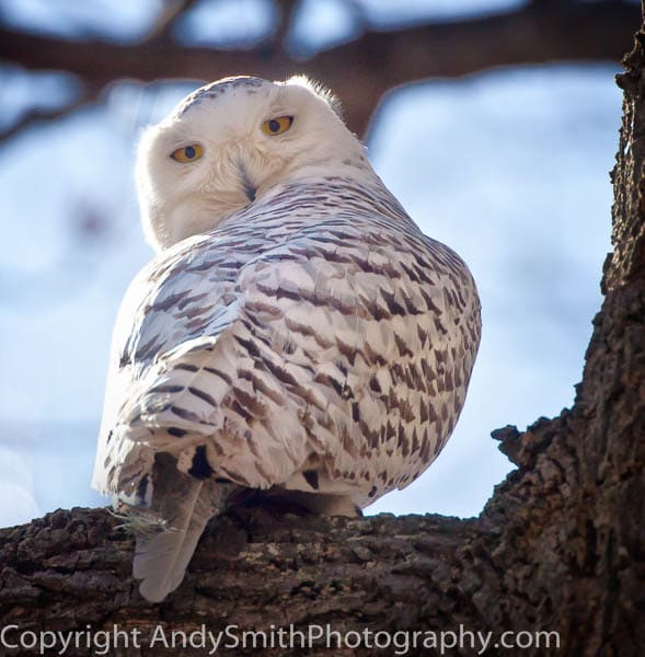 Snowy Owl at Merrill Creek fine art photograph
