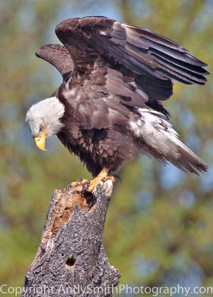 Bald Eagle at John Heinz National Wildlife Refuge at Tinicum fine art photograph