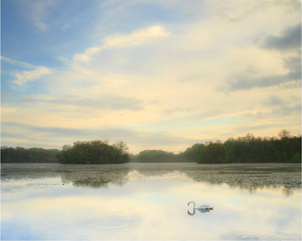 solitary swan on a pond