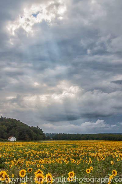 Sunflower Field Before the Storm fine art photograph