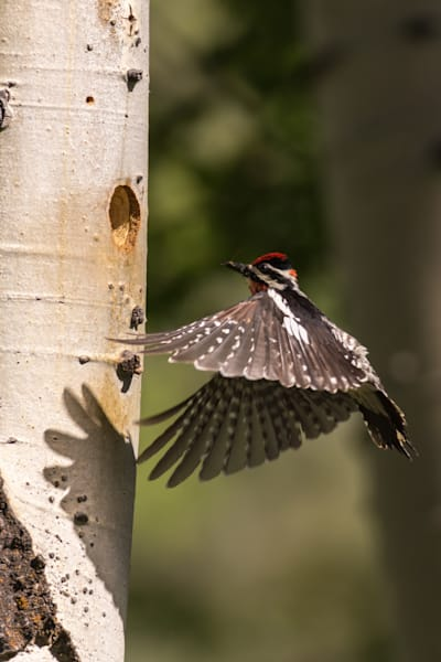 Red Naped Sapsucker in for a Landing