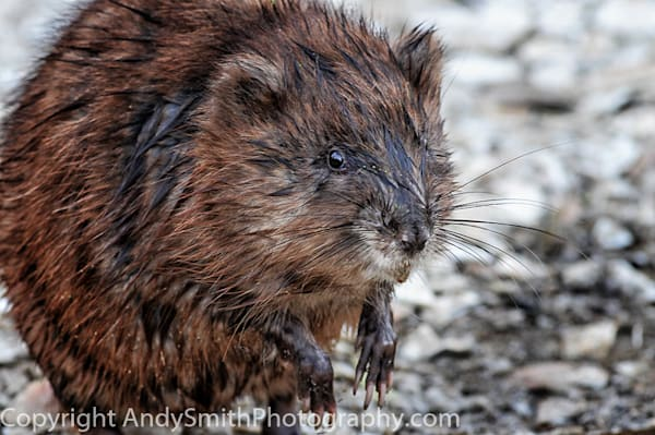 muskrat portrait fine art photograph