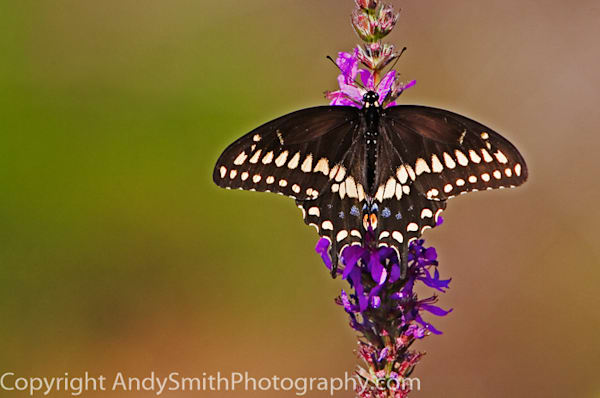 Eastern Black Swallowtail  fine art photograph