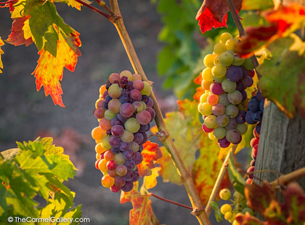 Veraison Iii Art | The Carmel Gallery