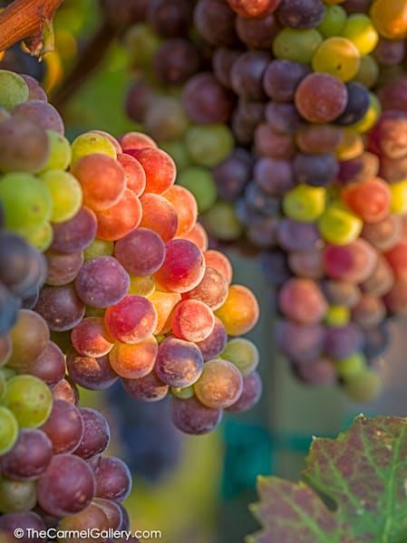 Veraison Ii Art | The Carmel Gallery