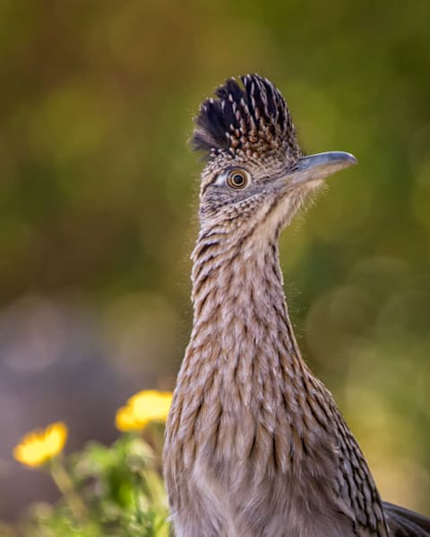 Portrait of a Roadrunner