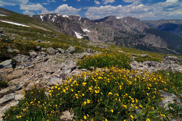 Alpine Avens on Flattop Mountain