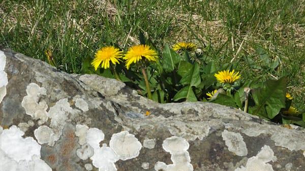 Dandelion Behind Moss-Covered Rock--Ireland