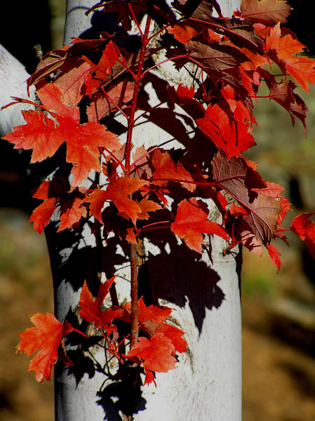 Red Leaves of Aspen--Vancouver, BC