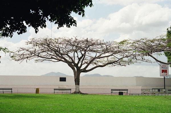 Flat-Topped Tree--Panama City, Panama