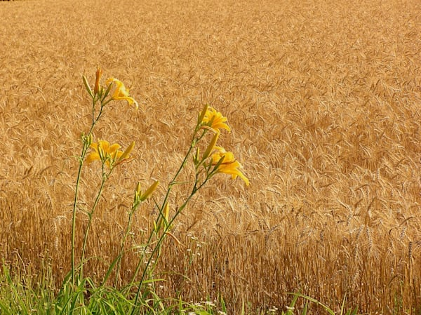 Wheat and Lily