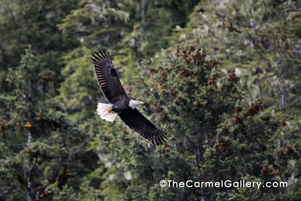 Soaring Eagle Art | The Carmel Gallery