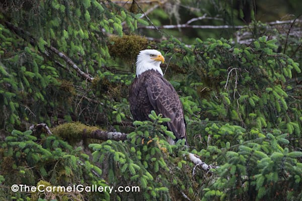 Majestic Eagle Art | The Carmel Gallery