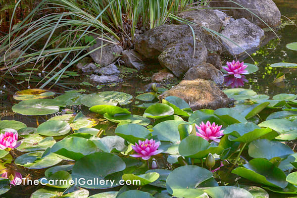 Waterlily Reflection Art | The Carmel Gallery