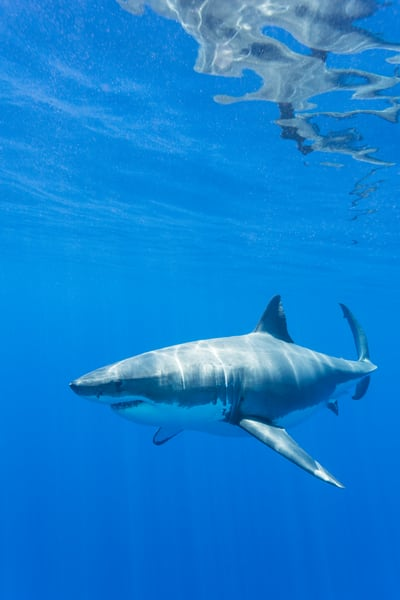 Great White Shark Reflection, Guadalupe Island, Mexico