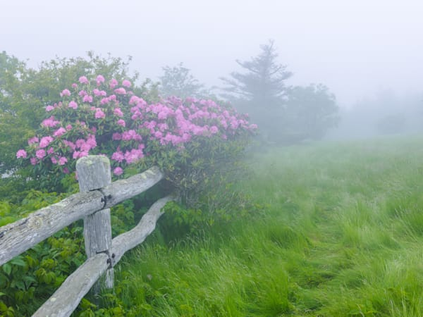 Misty Rhododendron