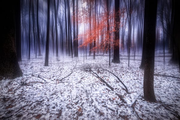Tranquil, a tree with red leaves stands out in the snowy woods
