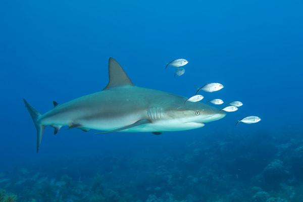 Photograph of Reef Shark, Key Largo, Florida