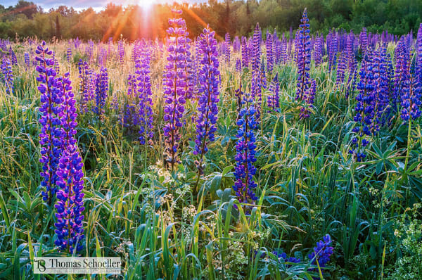New Hampshires festival of Lupine blooms in full swing