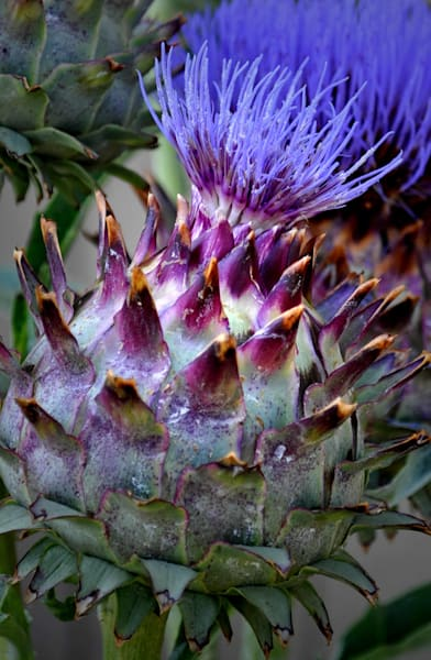 Flowering Artichoke by Aisha L. Tomlin an American photographer.
