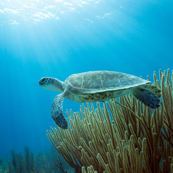UW 371: Green Sea Turtle, Bonaire