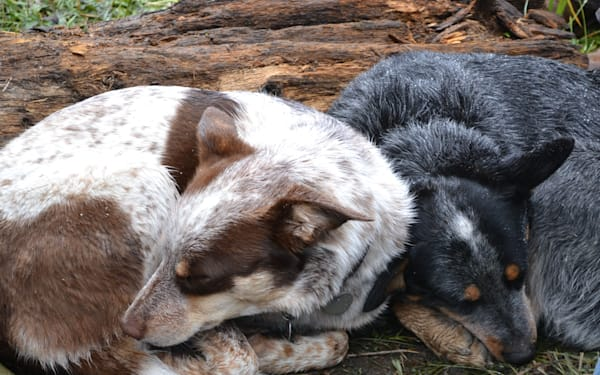 Photograph of two heeler dogs for sale as Fine Art