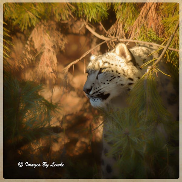 Snow Leopard in The Tree's