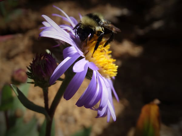 Photograph of a bumble bee on an aster for sale as Fine Art