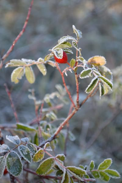 Photograph of sunlight on a frosty rose bush for sale as Fine Art