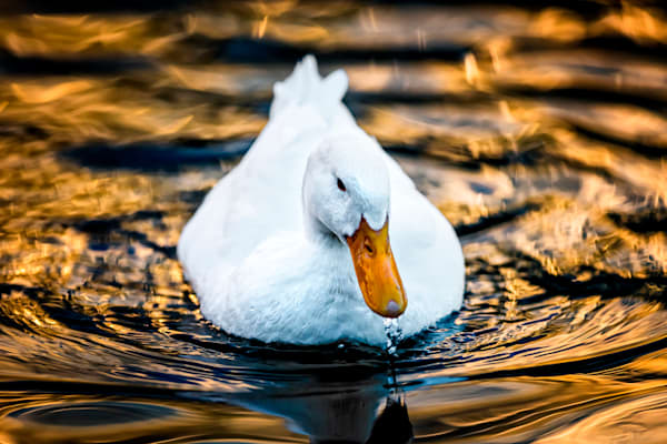 Golden Water fine art wildlife duck photograph