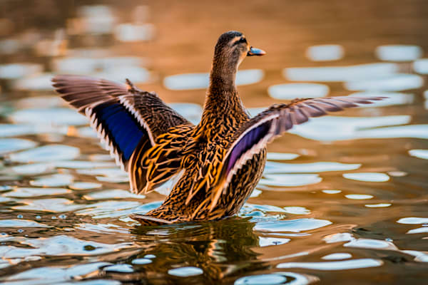 Graceful mallard fine art wildlife duck photograph