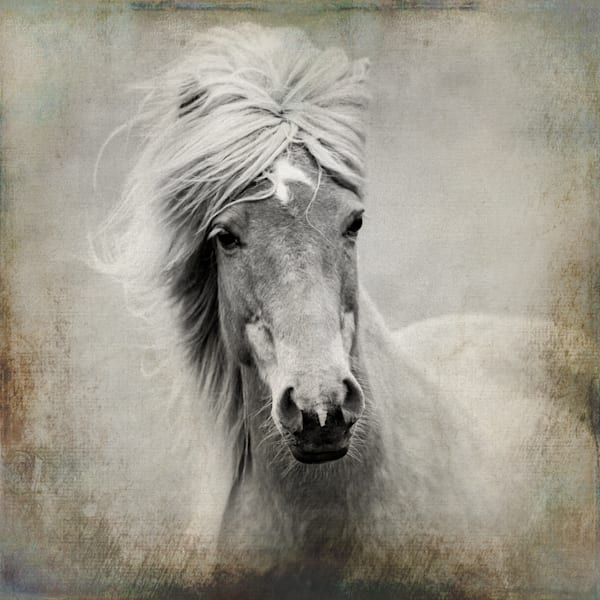 Portrait Of An Icelandic Mare Photography Art | HoofPrintsFineArt