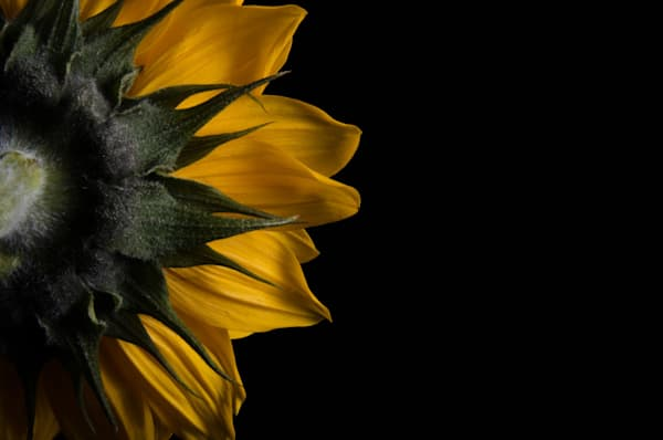 Backside of Sunflower Limited Edition Signed Fine Art Nature Photograph by Melissa Fague