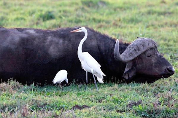 Buffalos And Wild Beasts 003 Photography Art   Cheng Yan Studio