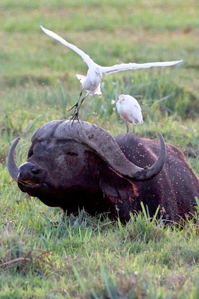 Buffalos And Wild Beasts 004 Photography Art   Cheng Yan Studio
